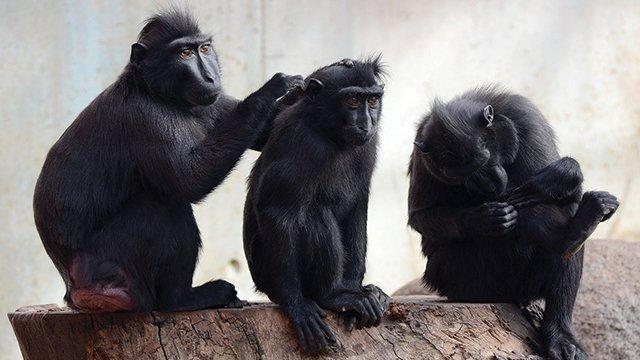 Monyet Tanpa Ekor Sulawesi Tengah